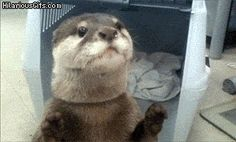 23 GIFs Of Otters That Will Make You Wish You Could Have One For A Pet
