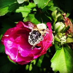 #BigFatBumblebee loaded down with pollen- making one last trip at my #RoséofSharon bush, #Lovethebees, #sweetsummer