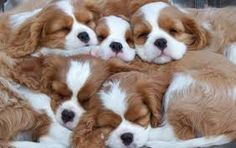 Image result for cavalier king charles spaniel newborn puppies