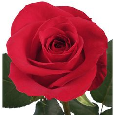 Give your event an extravagant elegance with XXL Extra Extra Large Long Stemmed Freedom Red Roses. These roses have large blooms with gently curling petals and Freesia Flowers, Diy Flowers, Beautiful Rose Flowers, Amazing Flowers, Wedding Flower Arrangements, Wedding Flowers, Bulk Roses, Oriental Lily, Diy Tv Stand
