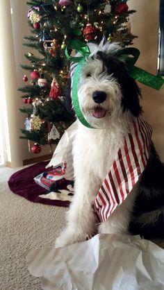 follow me on instagram: sheepadoodlereggie #sheepadoodle Tree Skirts, Cute Animals, Christmas Tree, Holiday Decor, Instagram, Pretty Animals, Teal Christmas Tree, Cutest Animals, Cute Funny Animals