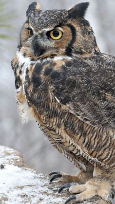 NAME: Vincent GENDER: Male TYPE: Horned Owl DESCRIPTION: eats a lot, proud, can be aggressive, loyal