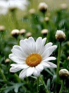 Beautiful bright daisy brings bright light in a rainy day....