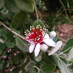 Flor y capullos de Feijoa