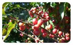 Svetol son origine - Le Svetol ® (café vert minceur) est extrait à partir de graine de café non torréfiés de la variété Robusta. Il est originaire des forêts d'Afrique équatoriale chaude et humide tels que Madagascar, Inde, Indonésie, Océanie. Cette culture s'est développée en Côte d'ivoire et en Extrême Orient (Viêt... http://www.sveneol.com/wp-content/uploads/2015/03/cafe_vert-300x185.jpg - Par cafevert sur Café vert minceur et nopal Sveneol     htt