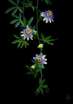 passion_flowers_on_vine__on_black_.jpg (840×1200)