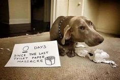 """Days since the last toilet paper massacre."""" 14 Hilarious Dog Shaming Photos of the Week Pics) Funny Animal Pictures, Funny Animals, Cute Animals, Animal Funnies, Animal Memes, Dog Funnies, Dog Humor, Funniest Pictures, Baby Animals"""