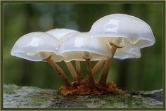 jelly mushrooms きのこ