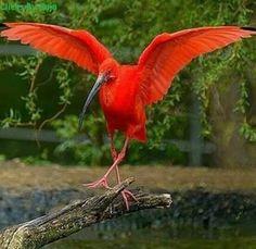 Red / Scarlet  Ibis