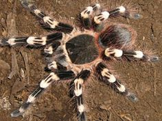 Brazilian Giant Whiteknee Tarantula - Acanthoscurria geniculata - A native to the forests of Brazil, this spider is of the family Theraphosidae. It is prized as a pet for its striking coloration, its size and its hardiness