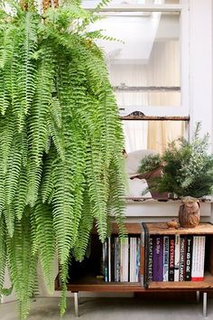 This fern is enormous and I love it.  I also want that cute owl vase/planter on table