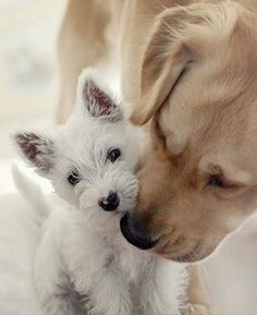 Golden Lab and West Highland Terrier <3