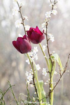 Ljuvligt enkelt med en vacker kvist och några få tulpaner. Från bloggen Naturliga ting.
