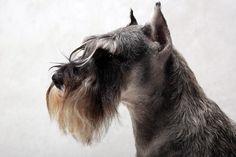 チャンピオンになったことのある犬しか出場資格を与えられていないアメリカ・ニューヨークの「ウェストミンスター・ケンネル・クラブ・ドッグ・ショー」でベスト・オブ・ブリードに選ばれた犬たちの写真です。小...