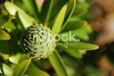 Kauri Tree (Agathis Australis): Female Cone Royalty Free Stock Photo Kauri Tree, Tree Fern, Kiwiana, Fresh Image, Closer To Nature, Tree Forest, Medicinal Plants, Native Plants, Image Now