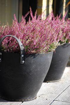 winter flowering heathers - rich range of colours