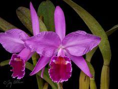 Cattleya jenmanii forma rubra  'Canaima's Fujioka'