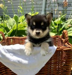 Sophie - Pomsky Puppy for Sale in Bunkerhill, IN Pomsky Puppies For Sale, Pomeranian Husky, Animals Dog, Mans Best Friend, Puppy Love, Pets, Sweet, Happy, Candy