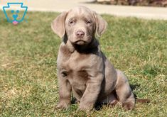 This is a sweet Silver Lab puppy who is raised with children and will adore his new family! Baby Puppies, Puppies For Sale, Silver Labs For Sale, Mountain Dogs, Bernese Mountain, Silver Labrador Retriever, Silver Lab Puppies, Adoptable Beagle, Teacup Chihuahua