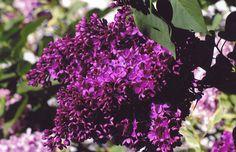 Znamya Lenina lilac - Single, dark magenta-purple