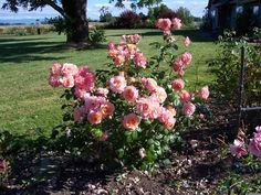 Lady of the mist rose - although rose sellers do not list it as shade tolerant, HMF member and garden web member state it as having excellent shade tolerance.