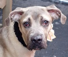 SAFE 9-29-2015 by Reefuge Animal Rescue --- Manhattan Center GRACIE – A1052440 ***SAFER : NEW HOPE RESCUE ONLY*** FEMALE, TAN / BLUE, BLACK MOUTH CUR MIX, 1 yr STRAY – STRAY WAIT, NO HOLD Reason STRAY Intake condition UNSPECIFIE Intake Date 09/23/2015 http://nycdogs.urgentpodr.org/gracie-a1052440/