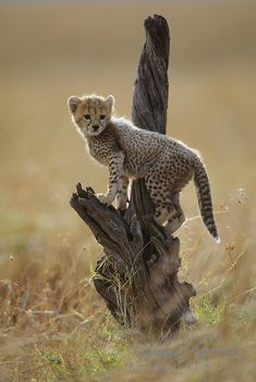 Cheetah (Acinonyx jubatus) portrait of a cub on a tree. Masai Mara National Reserve, Kenya, Africa