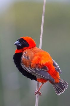 The Northern Red Bishop, Eluplectes franciscanus, is a weaver belonging in the family Ploceidae. This bird is a resident breeding bird species in Africa south of the Sahara Desert, and north to the Equator.