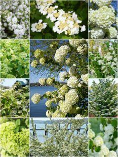 Fast Growing and Low Maintenance White Spring Blooms | ©homeiswheretheboatis.net #spring #shrub #lowmaintenace #fastgrowing #garden