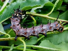 Silkmoths and more: Citheronia splendens sinaloensis