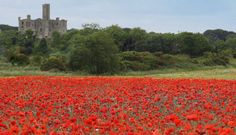 Poppies in bloom near Warkworth Castle - Northumberland