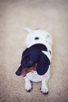 i love pie. dachshund