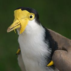 Masked Lapwing (Vanellus miles) showing wing spurs