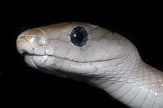 Jedovatí hadi - VENOMOUS SNAKES Snake Venom, Snakes, Animals, Animales, Animaux, Animal, Snake, Animais