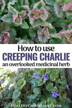 Creeping Charlie or ground ivy is a useful medicinal herb often overlooked by foragers and herbal remedy lovers. One of the earliest spring edibles, creeping Charlie is nutritious and has numerous traditional medicinal uses. Here's what to know about how to use creeping Charlie as a vegetable or as herbal medicine. #foraging #medicinalplants #herbalism #edibleweeds #herbalmedicine Herbal Remedies, Health Remedies, Natural Remedies, Green Living Tips, Wild Edibles, Natural Cleaners, Eating Organic, Medicinal Plants, Herbal Medicine
