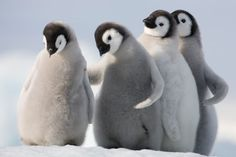 emperor penguin chicks in antarctica | The spring months in Antarctica (mid November to mid-December), signal ...