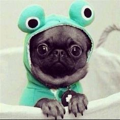 U is for Utterly awesome.How awesome is this Pug frog.U is hard, hopefully this Pug frog makes you smile. Cute Pug Puppies, Black Pug Puppies, Cute Pugs, Dogs And Puppies, Pug Dogs, Chihuahuas, Cute Little Animals, Cute Funny Animals, Funny Dogs