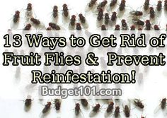 How to Get Rid of Fruit Flies & Prevent Reinfestation- 5 Natural Ways to remove those nasty pests, including kill'em all versions and No Kill Version & 8+ ways to Prevent Infestation in the first place  http://www.budget101.com/do-yourself/how-get-rid-fruit-flies-prevent-reinfestation-4793.html