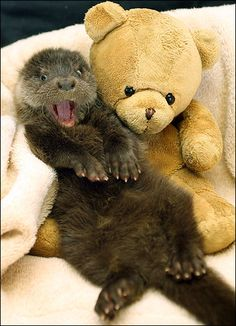 Whole otter love ... orphaned cub with his teddy pal