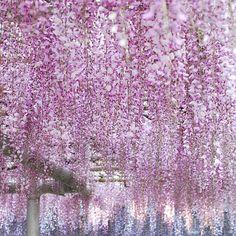 *  今日は藤を見に。  薄紫色もいいけど、ピンク色も綺麗だったな。  藤があんなに甘くいい香りがするなんて  知らなかったー(*´▽`*) #藤 - @mokotto_moko- #webstagram