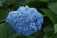 Q&A: Some flowers can change color   Fine Gardening