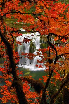 Red Maple in Fall and Lower Lewis River Falls in The Gifford Pinchot National Forest Washington