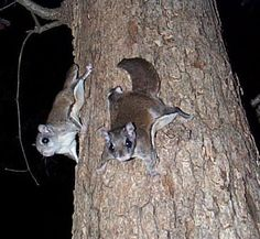 Nocturnal Creature - Flying Squirrel, also active year round