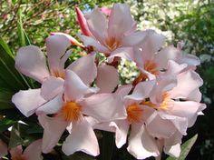 OLEANDER HAUS  Nerium Oleander Gotsis Akamas Nerium, Bloom, Plants, Greece, House, Plant, Planting, Planets