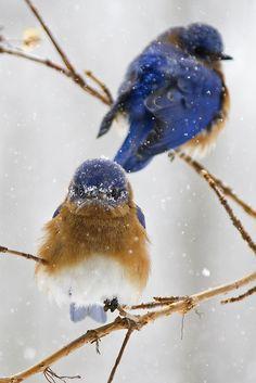 Bluebirds in the snow | issyparis