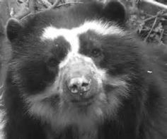 Spectacled Bear - Bing Images