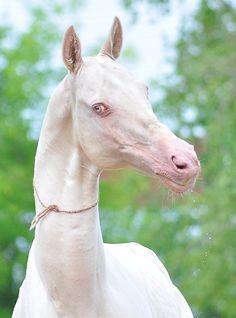 Stallion Tom (Melesut-Tepele) 1997, line Sovhos-2. More info: http://www.akhaltexas.com/?page_id=563