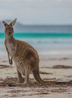 Esperance is home to some of Australia's most picture-perfect beaches and is isolated enough that you won't have to deal with crowds of people--maybe just a few kangaroos who like to bounce up and down the beaches. #Kangaroos