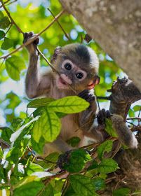 A very young dusky langur, Prachuap Khiri Khan, Thailand. Dusky langurs are born a bright gold color and turn a dusky gray in a matter of months. Jungle Animals, Cute Baby Animals, Animals And Pets, Funny Animals, Cute Creatures, Beautiful Creatures, Animals Beautiful, Cute Monkey, Monkey Baby