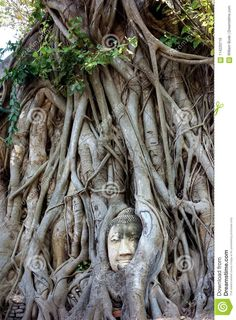World Famous Buddha Head In Banyan Tree Stock Image - Image of bangkok, banyan: 114220719 Stock Image, Buddha Head, Bangkok, Garden Sculpture, Thailand, Trees, Statue, Outdoor Decor, Tree Structure